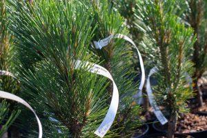 Etykieta pętelkowa 160x17mm może być umieszczona nasztywnej gałązce drzewka. Fot.Garden-Label.