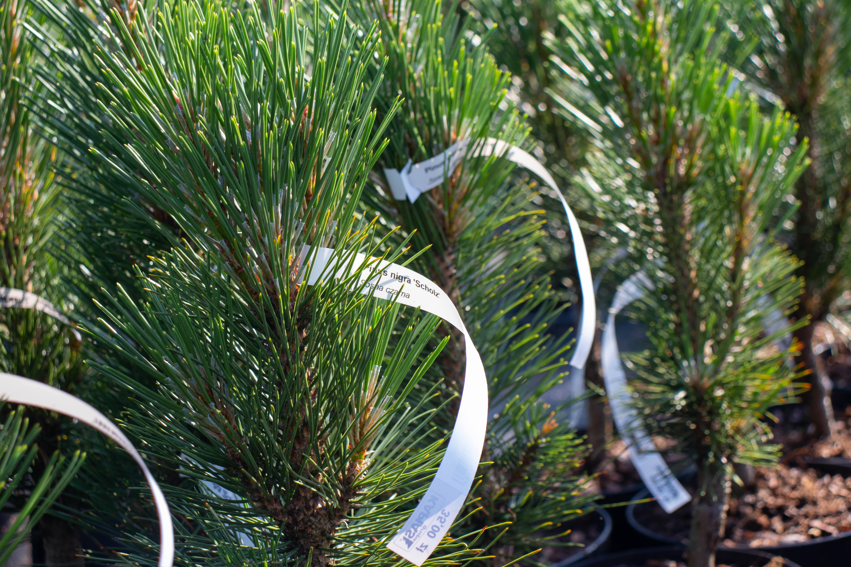 Etykieta pętelkowa 160x17mm może być umieszczona na sztywnej gałązce drzewka. Fot. Garden-Label.